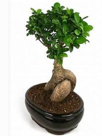 Bonsai saksı bitkisi japon ağacı  Ardahan çiçek siparişi sitesi