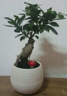 Bonsai japon ağacı saksı çiçeği  Ardahan çiçek gönderme sitemiz güvenlidir