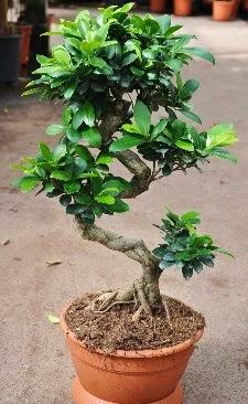 Orta boy bonsai saksı bitkisi  Ardahan internetten çiçek siparişi