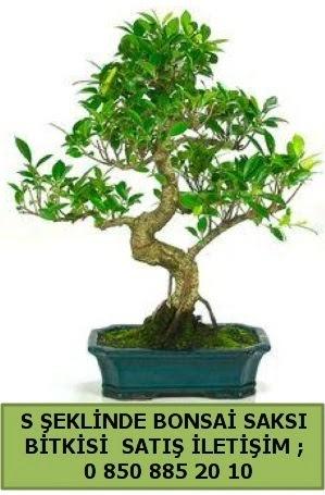 İthal S şeklinde dal eğriliği bonsai satışı  Ardahan çiçek gönderme
