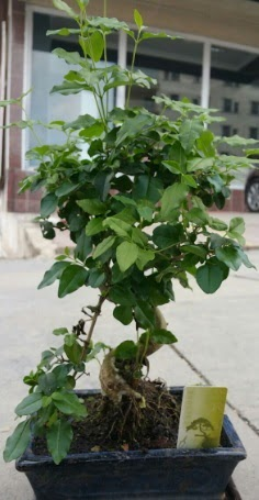 Bonsai japon ağacı saksı bitkisi  Ardahan çiçek siparişi vermek