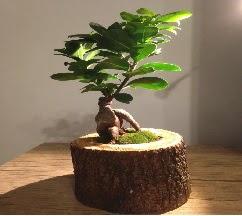 Doğal kütükte Bonsai japon ağacı satışı  Ardahan internetten çiçek satışı