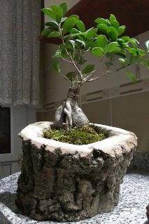Ahşap kütük içerisinde ginseng bonsai  Ardahan internetten çiçek siparişi