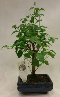 Minyatür bonsai japon ağacı satışı  Ardahan çiçekçi telefonları