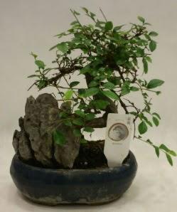 İthal 1.ci kalite bonsai japon ağacı  Ardahan çiçek satışı