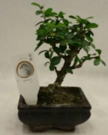 Küçük minyatür bonsai japon ağacı  Ardahan çiçek gönderme