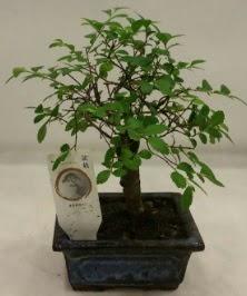 Minyatür ithal japon ağacı bonsai bitkisi  Ardahan çiçek satışı
