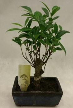 Japon ağacı bonsai bitkisi satışı  Ardahan çiçekçi telefonları