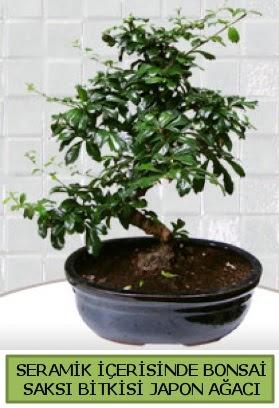 Seramik vazoda bonsai japon ağacı bitkisi  Ardahan çiçek siparişi sitesi