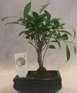 Bonsai japon ağacı bitkisi satışı  Ardahan çiçek gönderme sitemiz güvenlidir