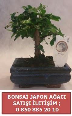 Japon ağacı minyaür bonsai satışı  Ardahan çiçek satışı