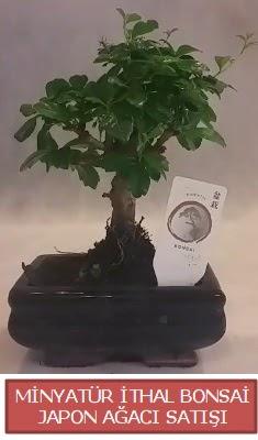 Küçük görsel bonsai japon ağacı bitkisi  Ardahan çiçek , çiçekçi , çiçekçilik