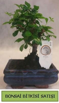 Bonsai ithal görsel minyatür japon ağacı  Ardahan ucuz çiçek gönder