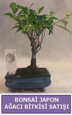 İthal Bonsai japon ağacı bitkisi satışı  Ardahan İnternetten çiçek siparişi