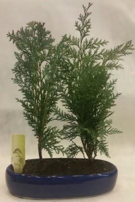 SINIRLI SAYIDA Selvi Ağacı bonsai ikili  Ardahan çiçekçi telefonları