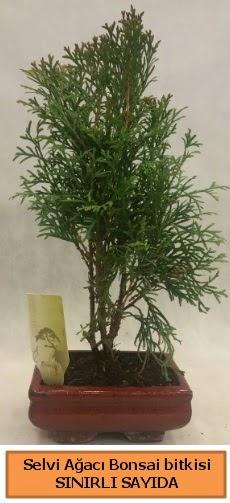 Selvi ağacı bonsai japon ağacı bitkisi  Ardahan çiçek satışı
