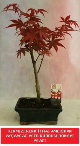 İTHAL ACER RUBRUM BONSAİ AĞACI  Ardahan çiçek gönderme sitemiz güvenlidir