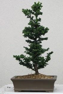 Çam ağacı bonsai bitkisi satışı  Ardahan çiçekçi telefonları