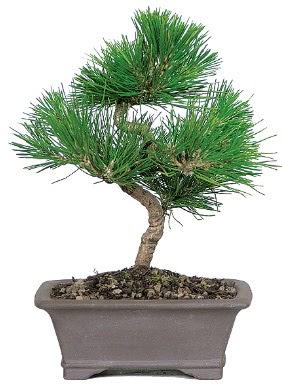 Çam ağacı bonsai japon ağacı bitkisi  Ardahan çiçek gönderme