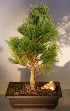 Çam ağacı japon ağacı bitkisi bonsai  Ardahan çiçekçi telefonları