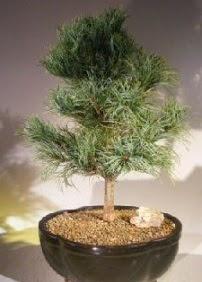 Çam ağacı bonsai bitkisi satışı  Ardahan ucuz çiçek gönder