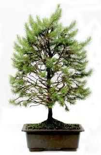 *** STOKTA YOK - Çam ağacı bonsai bitkisi satışı  Ardahan cicekciler , cicek siparisi