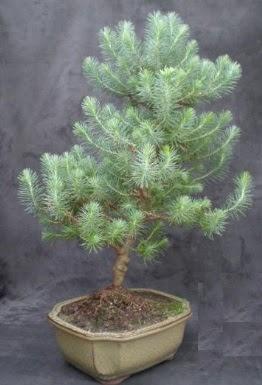 Bonsai çam ağacı japon ağacı bitkisi  Ardahan çiçek gönderme sitemiz güvenlidir