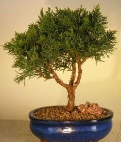 Servi çam bonsai japon ağacı bitkisi  Ardahan çiçek yolla