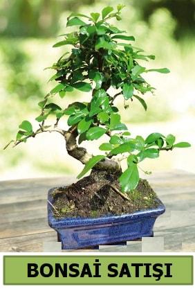 Çam bonsai japon ağacı satışı  Ardahan çiçek satışı