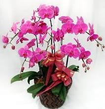 Sepet içerisinde 5 dallı lila orkide  Ardahan ucuz çiçek gönder