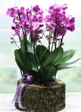 Kütük içerisinde 6 dallı mor orkide  Ardahan ucuz çiçek gönder