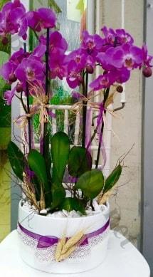 Seramik vazoda 4 dallı mor lila orkide  Ardahan online çiçek gönderme sipariş