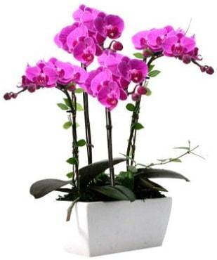 Seramik vazo içerisinde 4 dallı mor orkide  Ardahan çiçek satışı