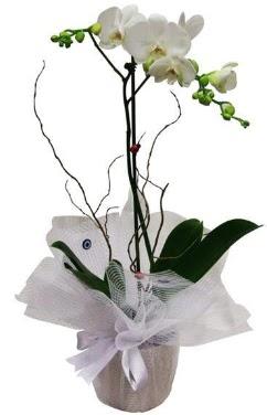 Tek dallı beyaz orkide  Ardahan cicek , cicekci
