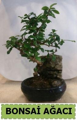 Bonsai ağacı japon ağacı satışı  Ardahan hediye çiçek yolla
