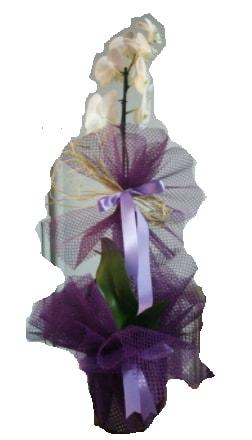 Tek dallı beyaz orkide süper kalite ithal  Ardahan çiçek siparişi sitesi