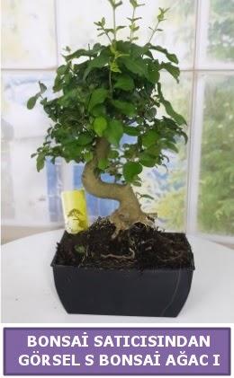 S dal eğriliği bonsai japon ağacı  Ardahan çiçek satışı
