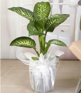 Tropik saksı çiçeği bitkisi  Ardahan çiçek satışı