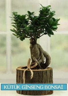Kütük ağaç içerisinde ginseng bonsai  Ardahan çiçek gönderme sitemiz güvenlidir