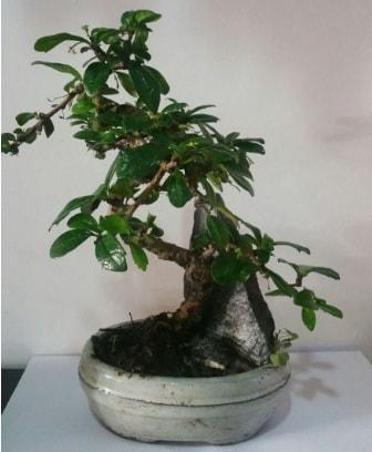 S şeklinde ithal bonsai ağacı  Ardahan çiçek yolla