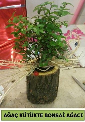 Doğal ağaç kütük içerisinde bonsai ağacı  Ardahan çiçek gönderme sitemiz güvenlidir