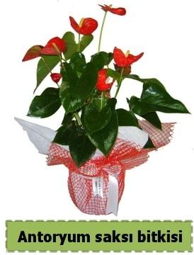 Antoryum saksı bitkisi satışı  Ardahan çiçek , çiçekçi , çiçekçilik