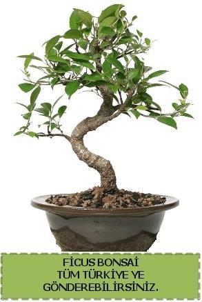 Ficus bonsai  Ardahan çiçek gönderme sitemiz güvenlidir