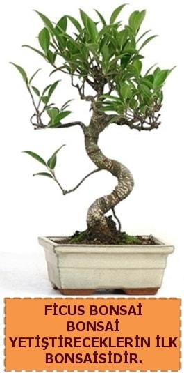 Ficus bonsai 15 ile 25 cm arasındadır  Ardahan çiçek yolla