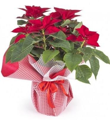 Atatürk çiçeği saksı bitkisi  Ardahan çiçek gönderme sitemiz güvenlidir
