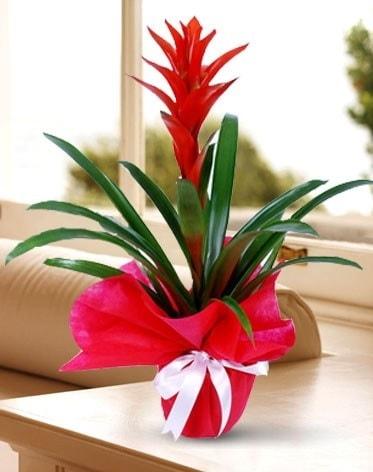 Guzmanya Saksı Çiçeği  Ardahan çiçek yolla