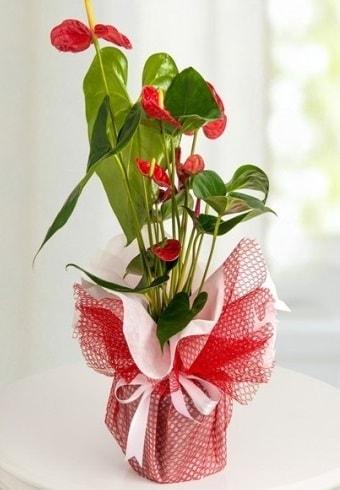 Anthurium Saksı Çiçeği  Ardahan hediye çiçek yolla