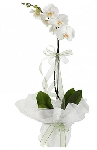 Tekli Beyaz Orkide  Ardahan hediye çiçek yolla