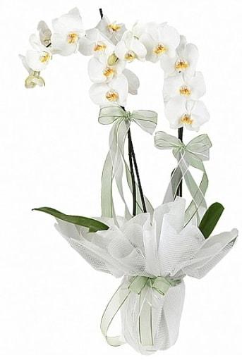 Çift Dallı Beyaz Orkide  Ardahan anneler günü çiçek yolla