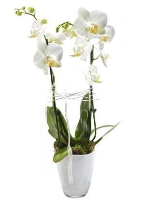 2 dallı beyaz seramik beyaz orkide saksısı  Ardahan çiçek gönderme sitemiz güvenlidir